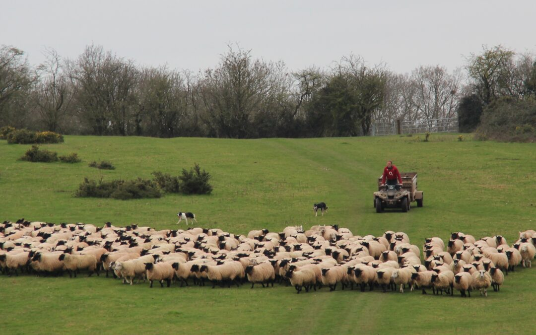 Suffolk Sired Lamb Ticks All the Boxes for The Halford Partnership